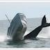 Vídeo.- Momento de una ballena jorobada choca con un barco.