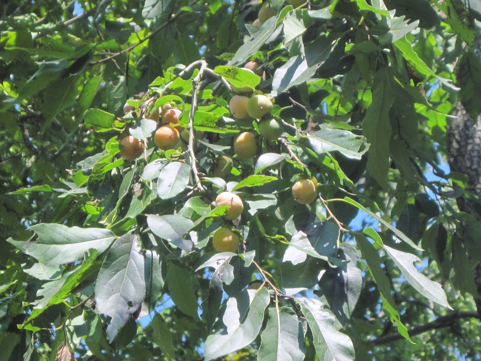 how to grow persimmon tree
