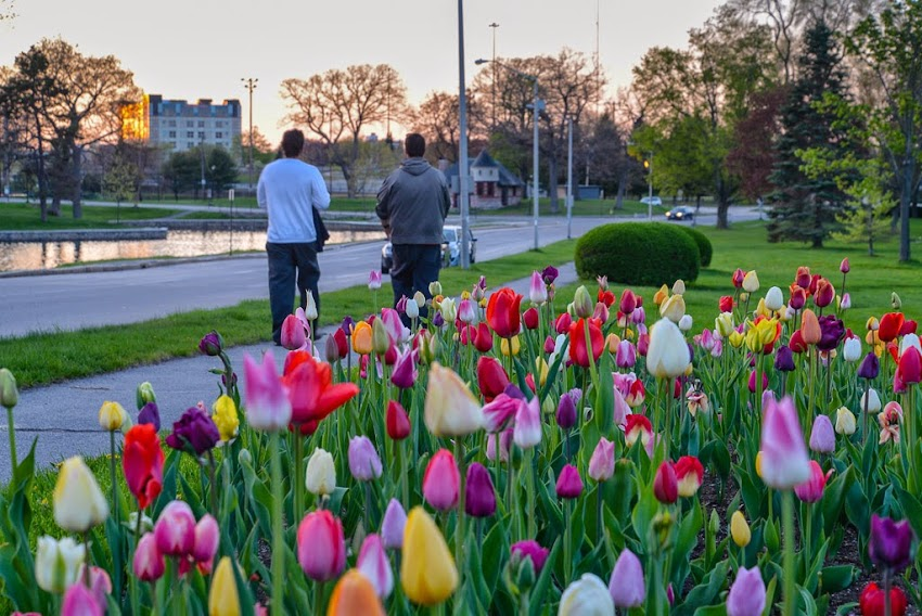 Portland, Maine May 2015 State Street along Deering Oaks Park Tulips Flowers photo by Corey Templeton.
