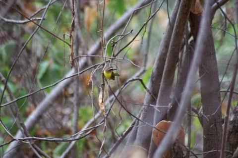 Chestnut-capped Warbler