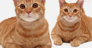 intestinal lymphoma in cats