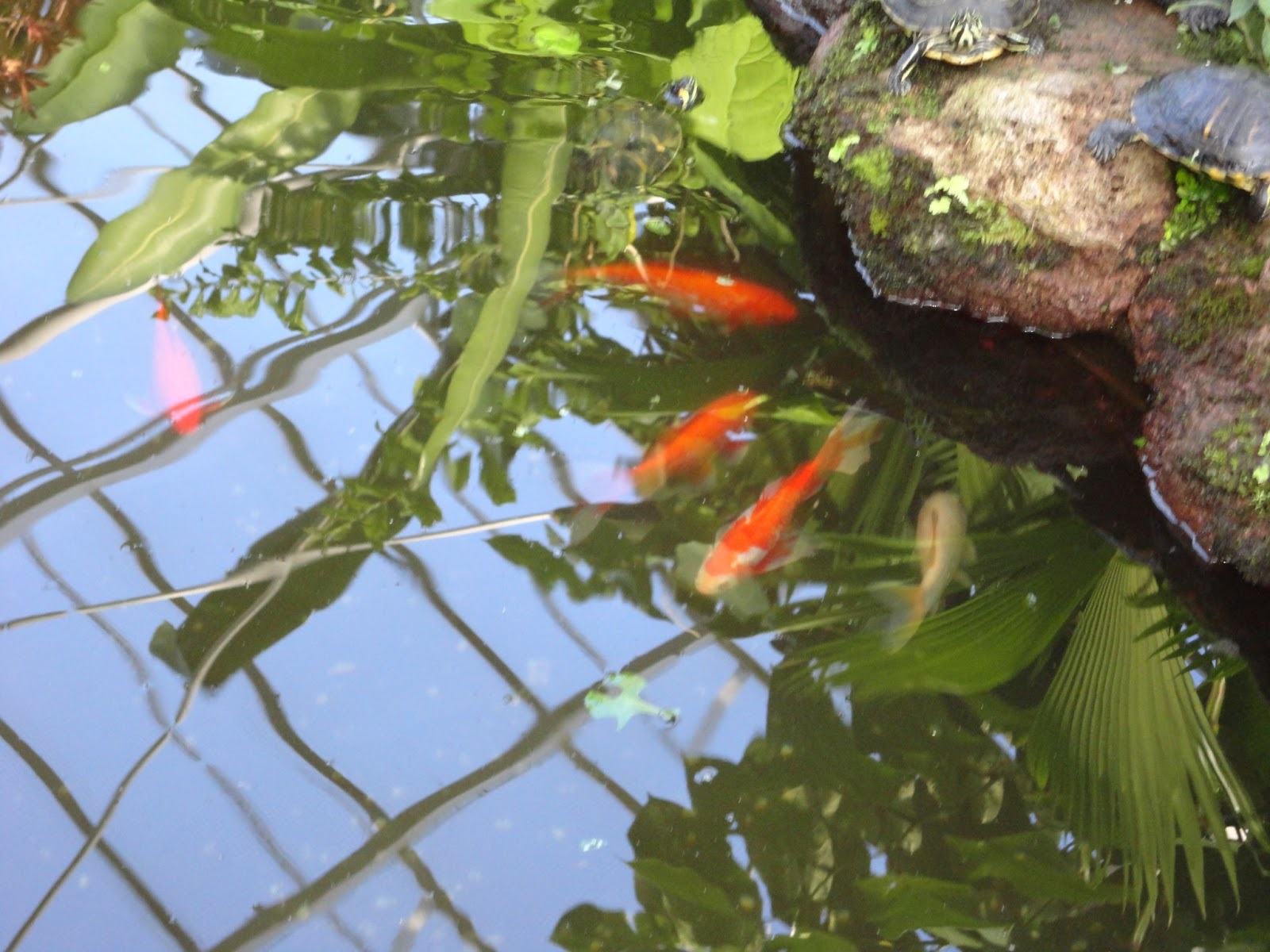 Paradise florists blog koi fish pond for Koi carp fish pond