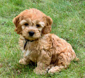 Cockapoo Puppies on Cockapoo Puppy Pictures   Puppy Pictures And Information