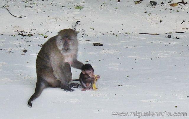 Macaco-cuidando-cría