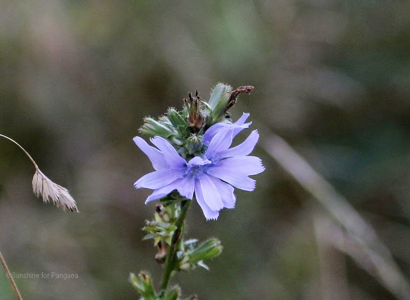 Common chicory (Cichorium intybus) macro photo