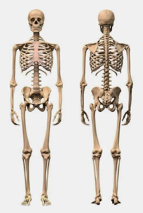 Morfofisiologia 1: 3.Generalidades de la anatomia: