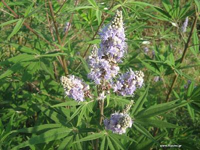 Λυγαριά: Το γυναικείο βότανο