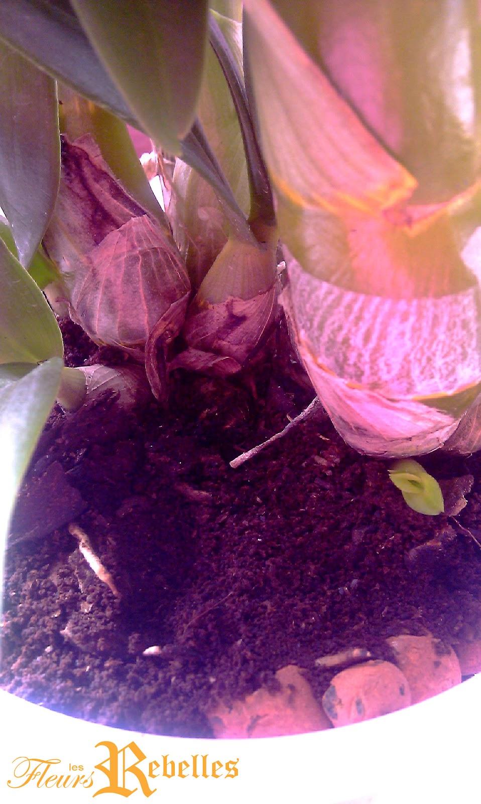Les fleurs rebelles blog lifestyle diy tuer les insectes de mes orchid es avec du marc de - Marc de cafe orchidee ...