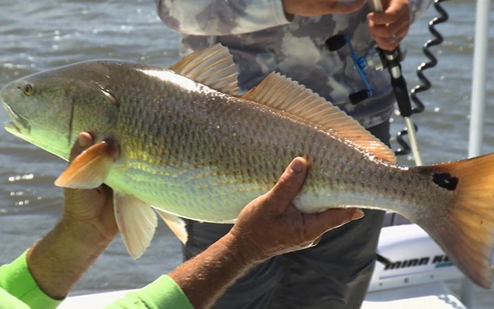 September Canaveral Bull Red Fishing Report with Capt. Scott Lum