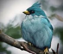 Agry Bird Blue