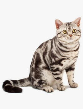 Kucing American Shorthair Kucing Persia