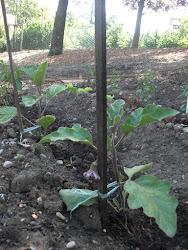Première fleur d'aubergine 31 05  2012
