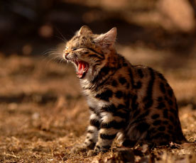 curiosidades animais felinos