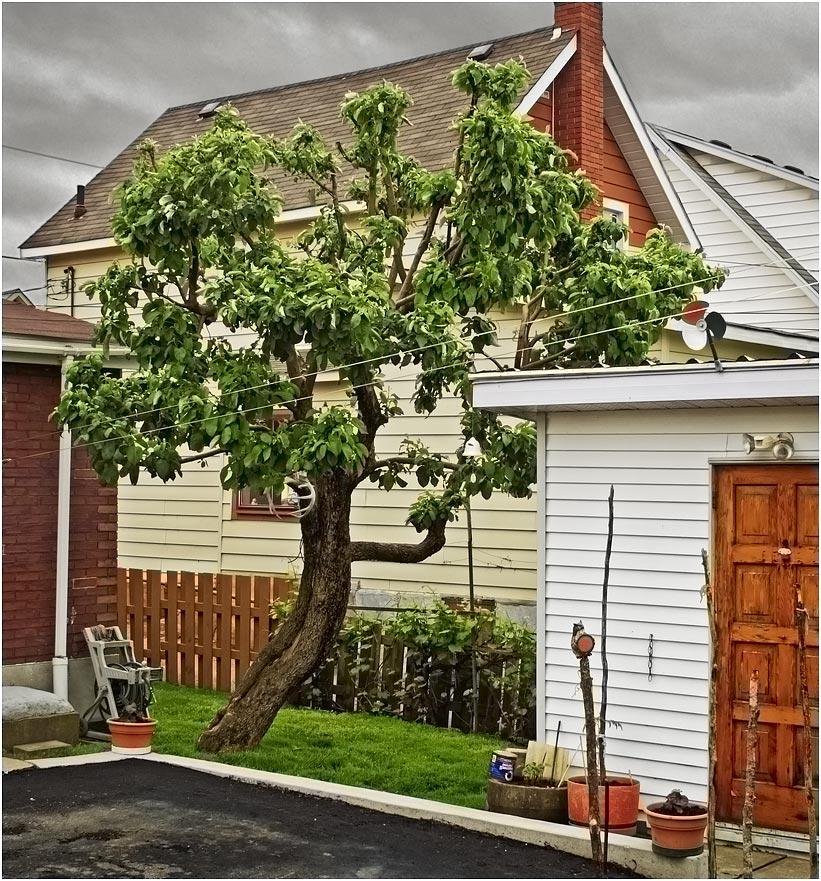 silverpixel backyard apple tree