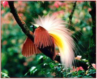 Image Result For Cerita Dan Asal Usul Burung Cendrawasih