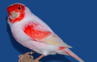 Burung Kenari Nyaring Gacor Harga Burung Kicau 2016