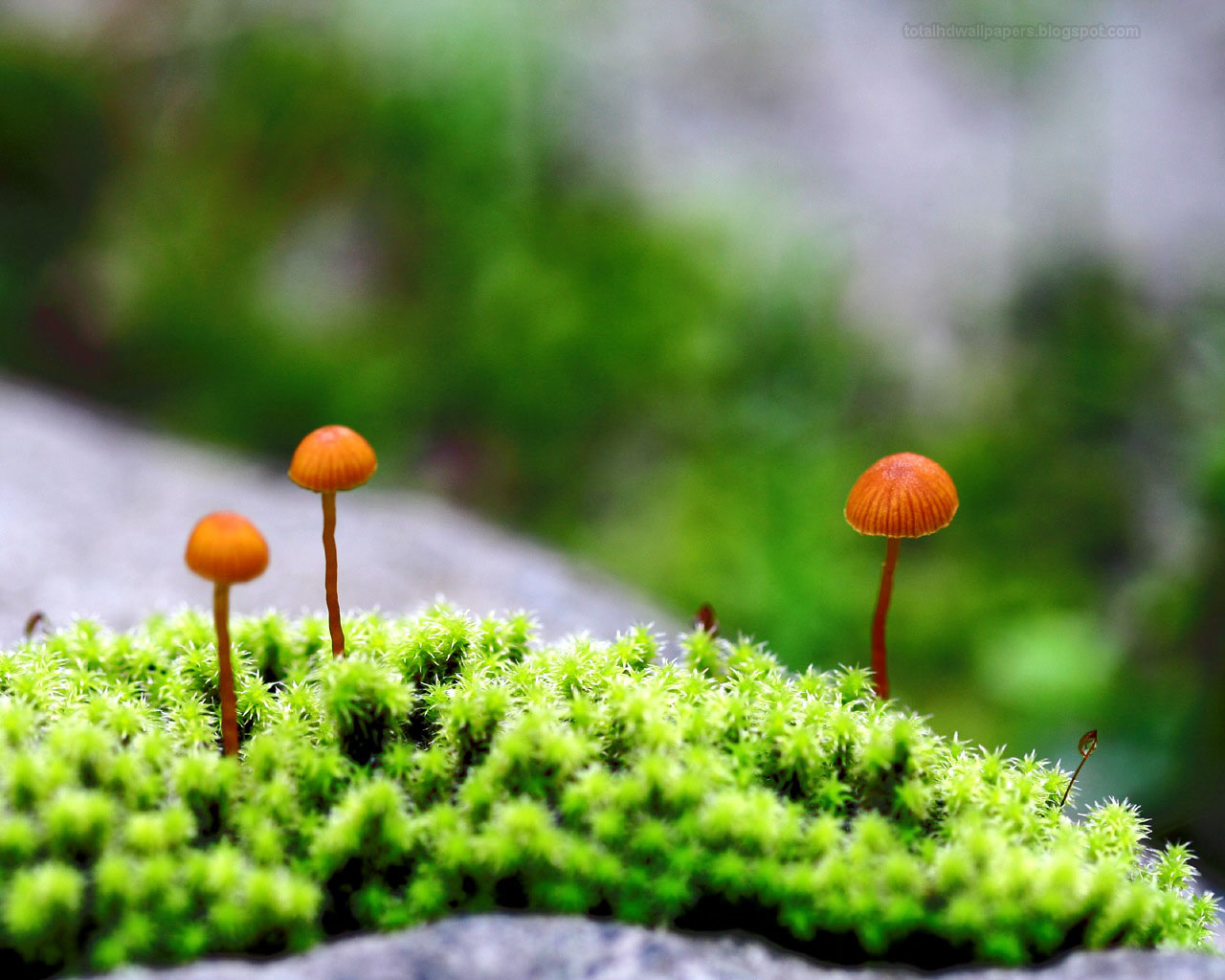HD Wallpapers: Mushroom wallpapers hd