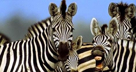 cerita lucu binatang kuda zebra