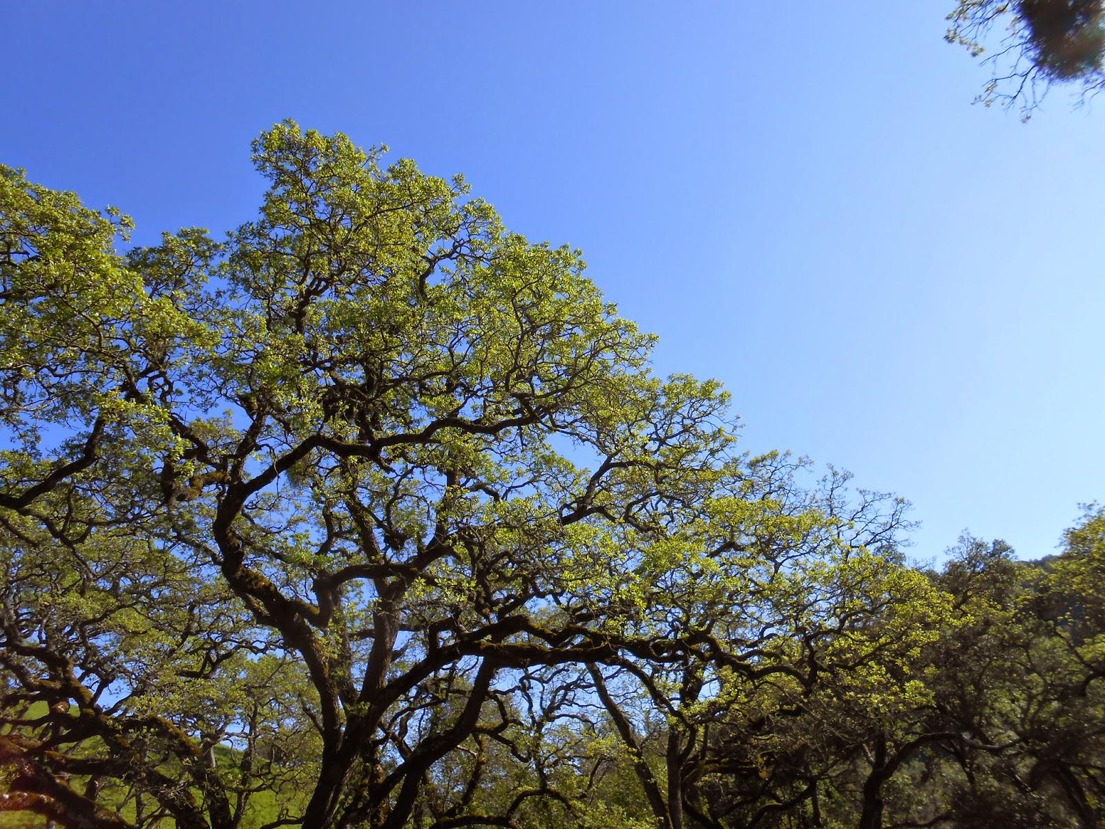 spiritual awakening, tree, briones regional park, new life, new buds, spiritual path