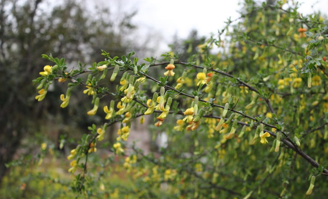 Caragana Sinica Flowers