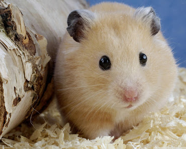 #6 Hamster Wallpaper