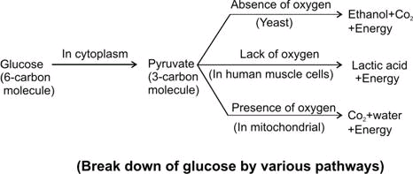 Ncert biology solution sketch a flow diagram for the various sketch a flow diagram for the various pathways for breakdown of glucose ccuart Gallery