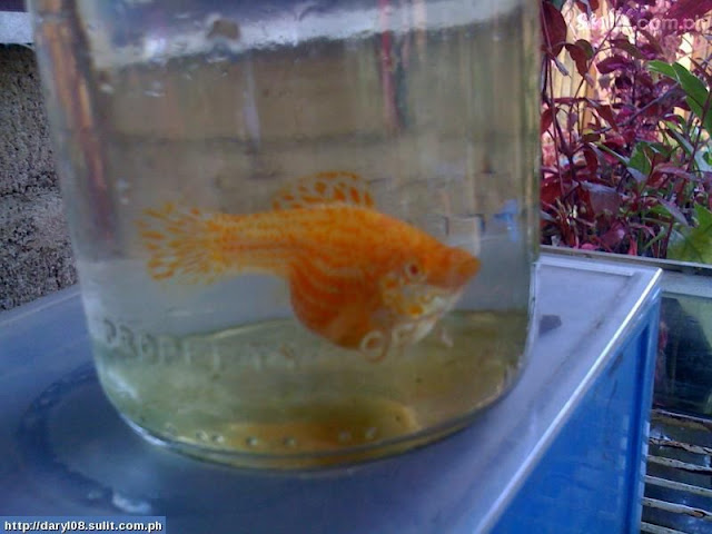 Balloon Mollies For Sale4