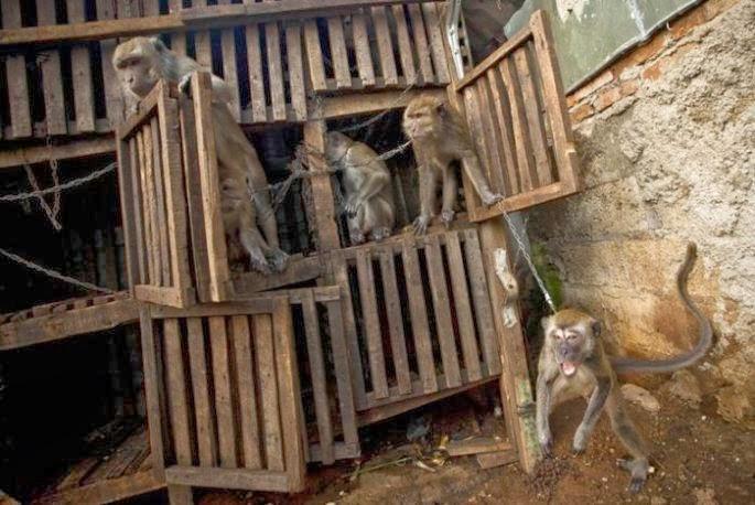 pettur monkeys indonesian doll face monkeys mask street money beggars mendigo macaco