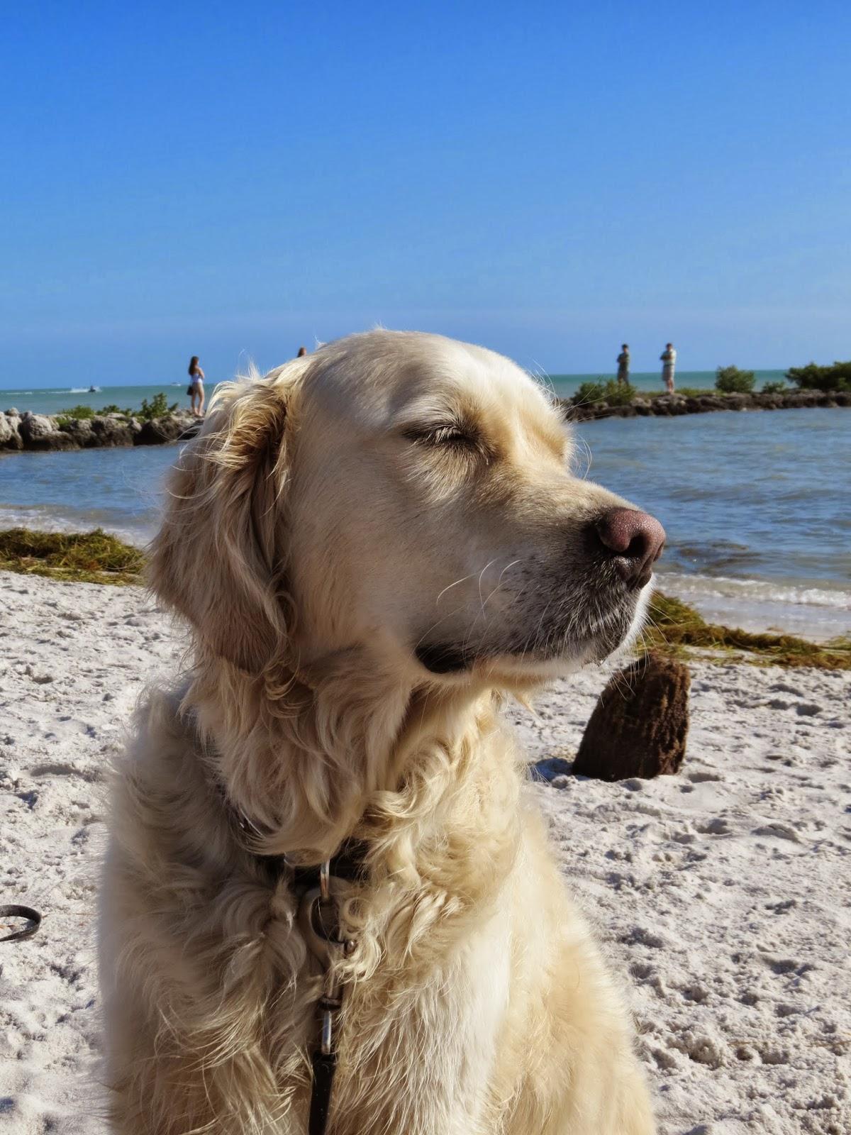 Boris the Golden Retriever enjoying the beach in Key West