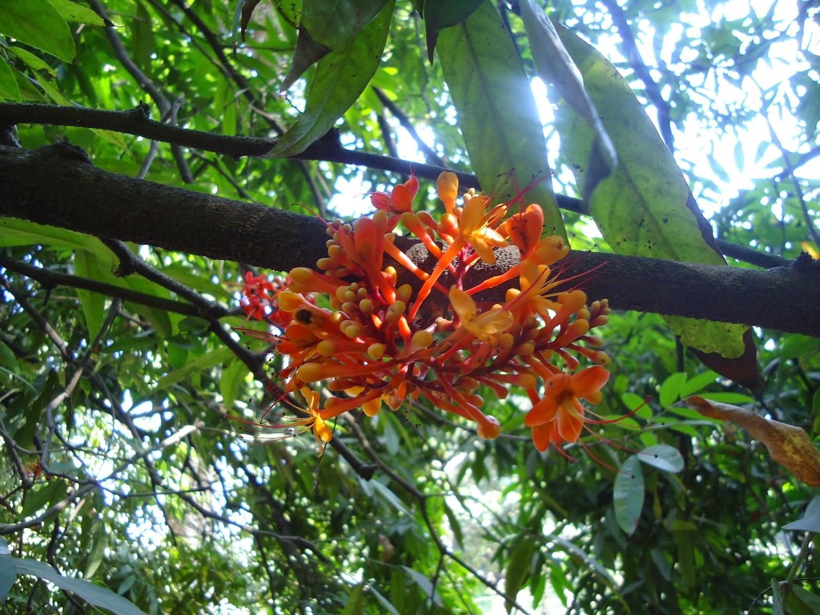 Pune, flower, Sita ashok