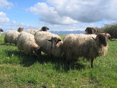 Black-headed Manech sheep