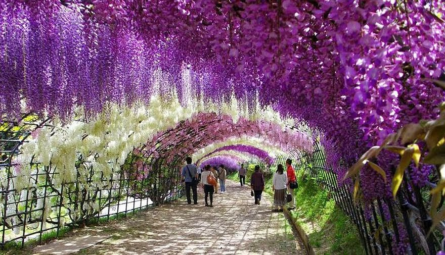 25 great places you haven 39 t seen or heard about photos Wisteria flower tunnel path in japan