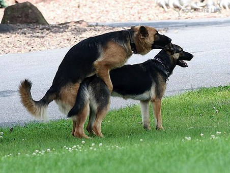 Male and female dogs reminding humanity about sex: dogs having sex