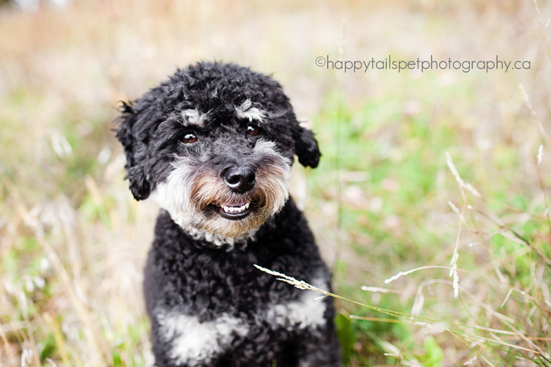 Burlington Ontario pet photography of a poodle-mix small dog in the long autumn grass.