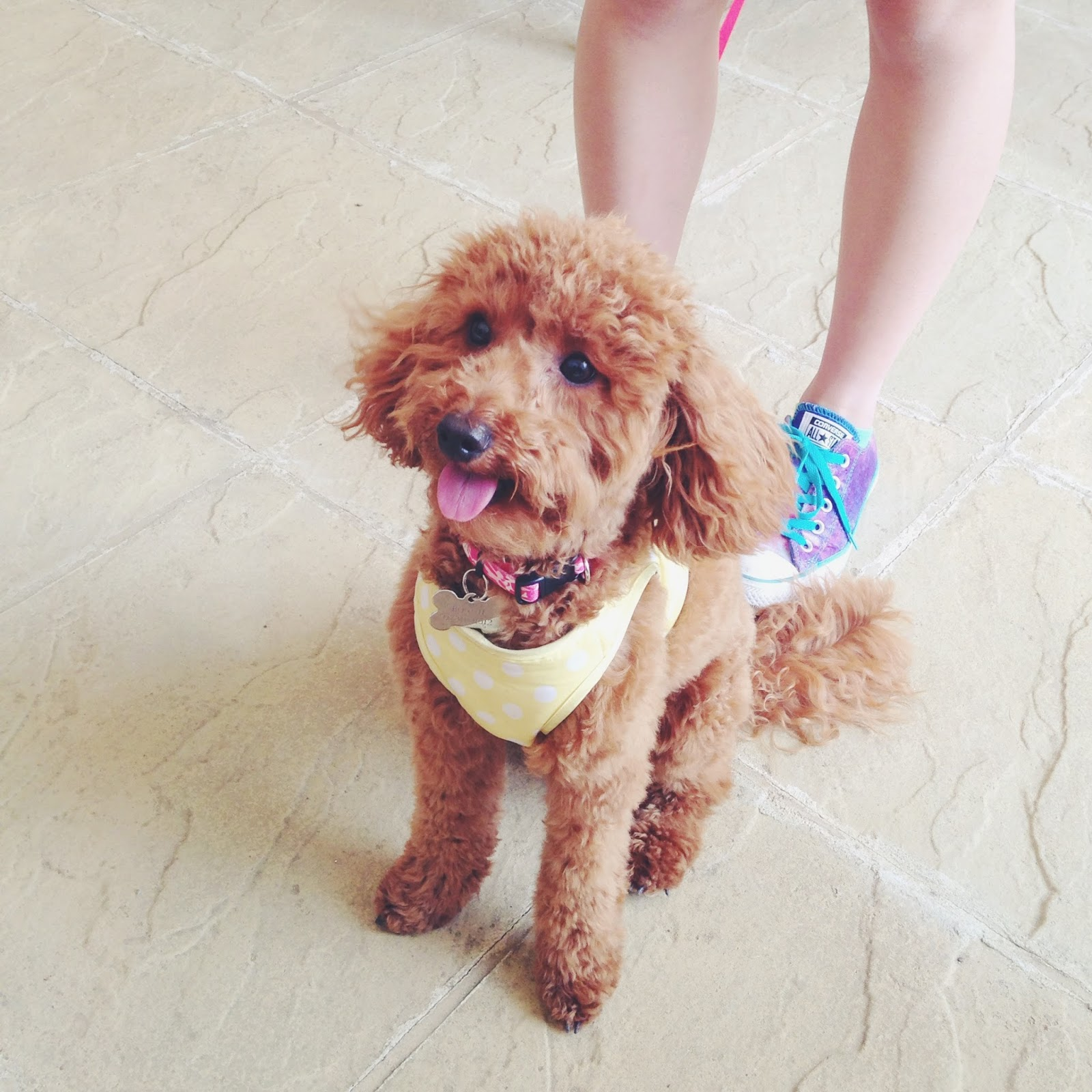 miniature poodle, toy poodle, miniature poodle haircut, poodle haircut