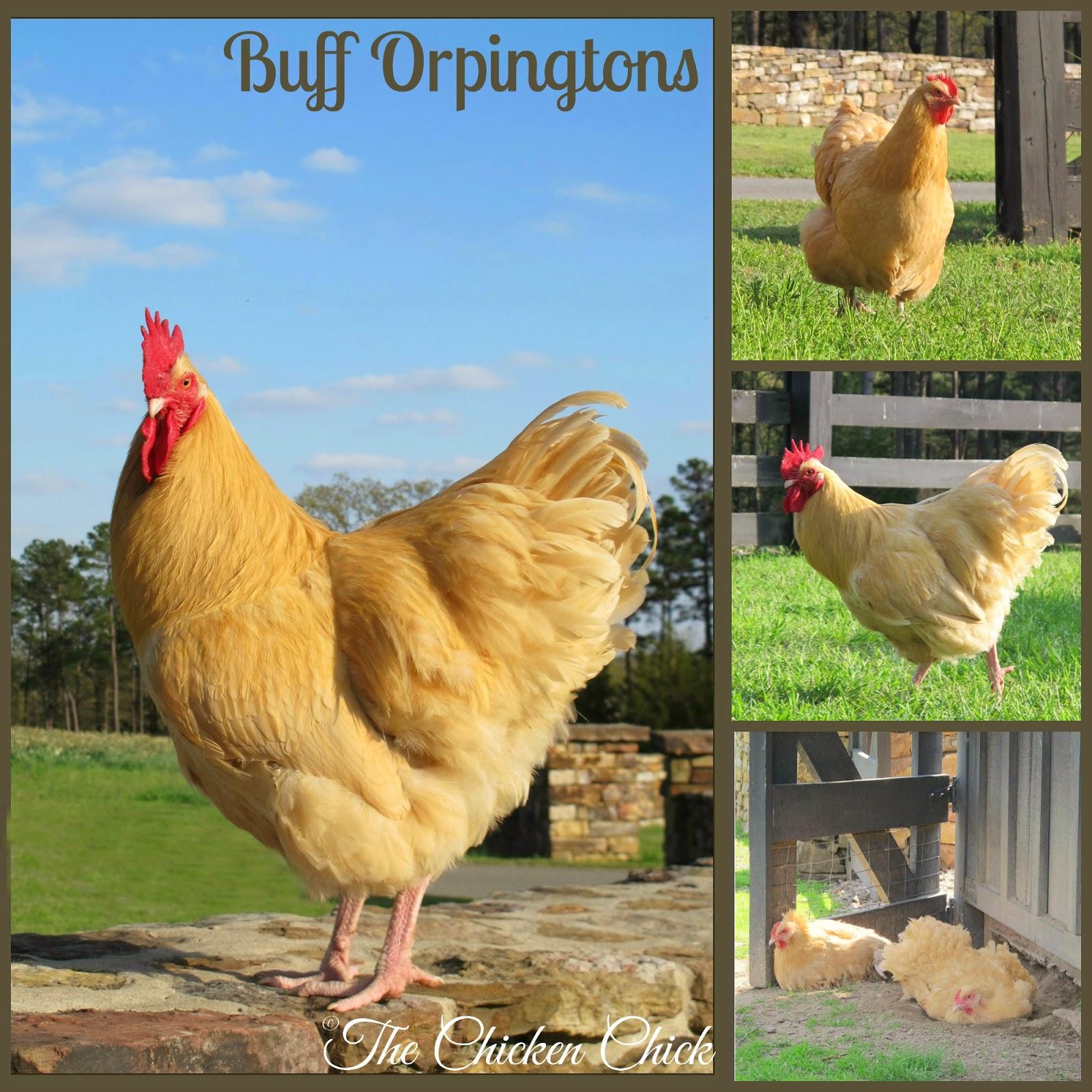 Buff Orpingtons at P Allen Smith's Moss Mountain Farm