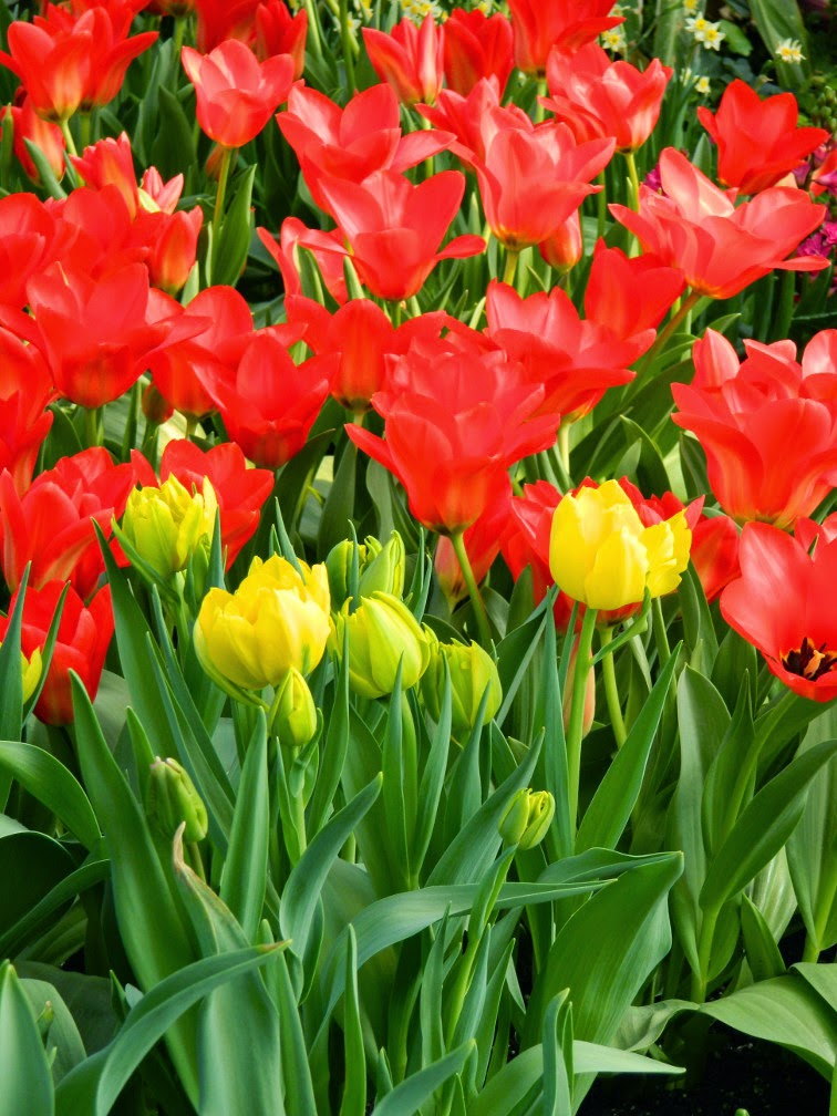 Red yellow tulips Centennial Park Conservatory 2015 Spring Flower Show by garden muses-not another Toronto gardening blog