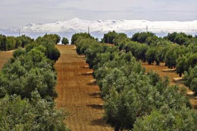 Η καλλιέργεια ελιάς στην Ελλάδα