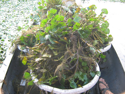 a basket of water chestnuts