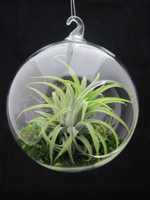 Easy To Grow Air Plants / My Air Plant Tillandsia ...
