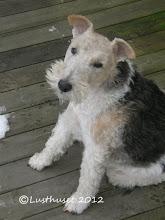 Linus min lilla änglahund