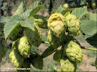 Colorado Hop Farms