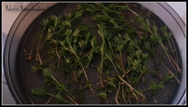 woodruff Galium Odoratum