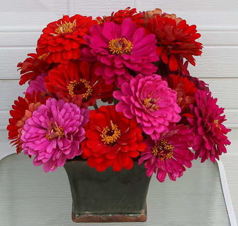 Red and pink color combinations state fair zinnias 2013 Red and pink colour combination