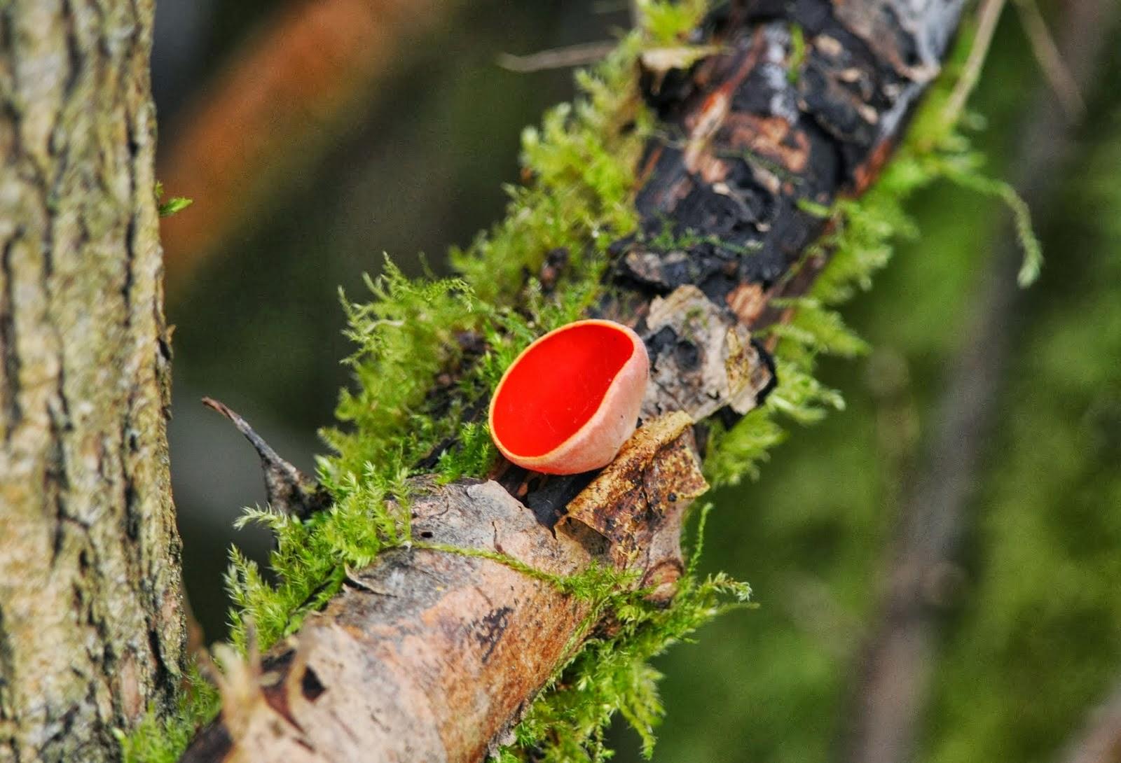 Scarlet Elf-cup