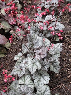 Coral Bells For Your Consideration Rotary Botanical Gardens