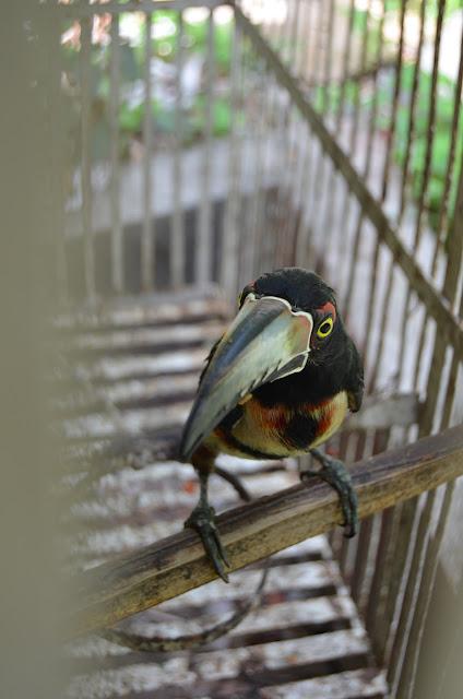 Pteroglossus torquatus