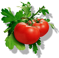 Cara Membuat Bibit Tomat Sendiri