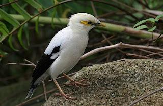 Habitat Burung Jalak Putih Yang Marak Di Sangkar Tetapi Langka Di Alam