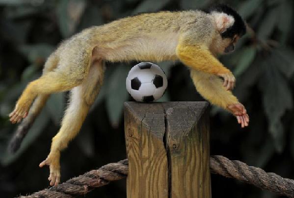 Monyet tupai jadi bintang bolasepak